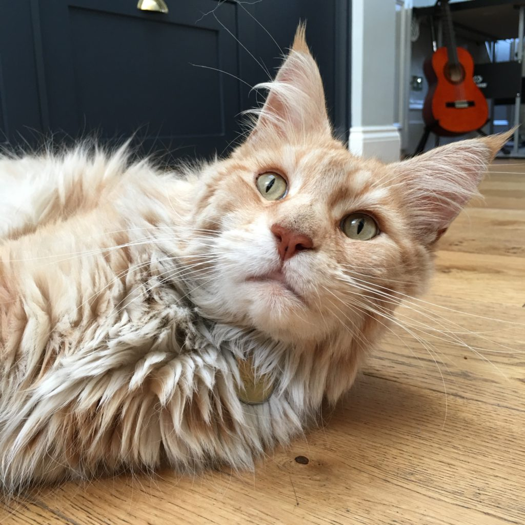 ginger maine coon tom cat with fluff