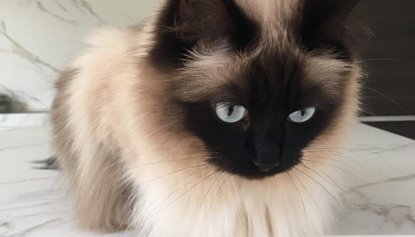 blue-eyed fluffy cat