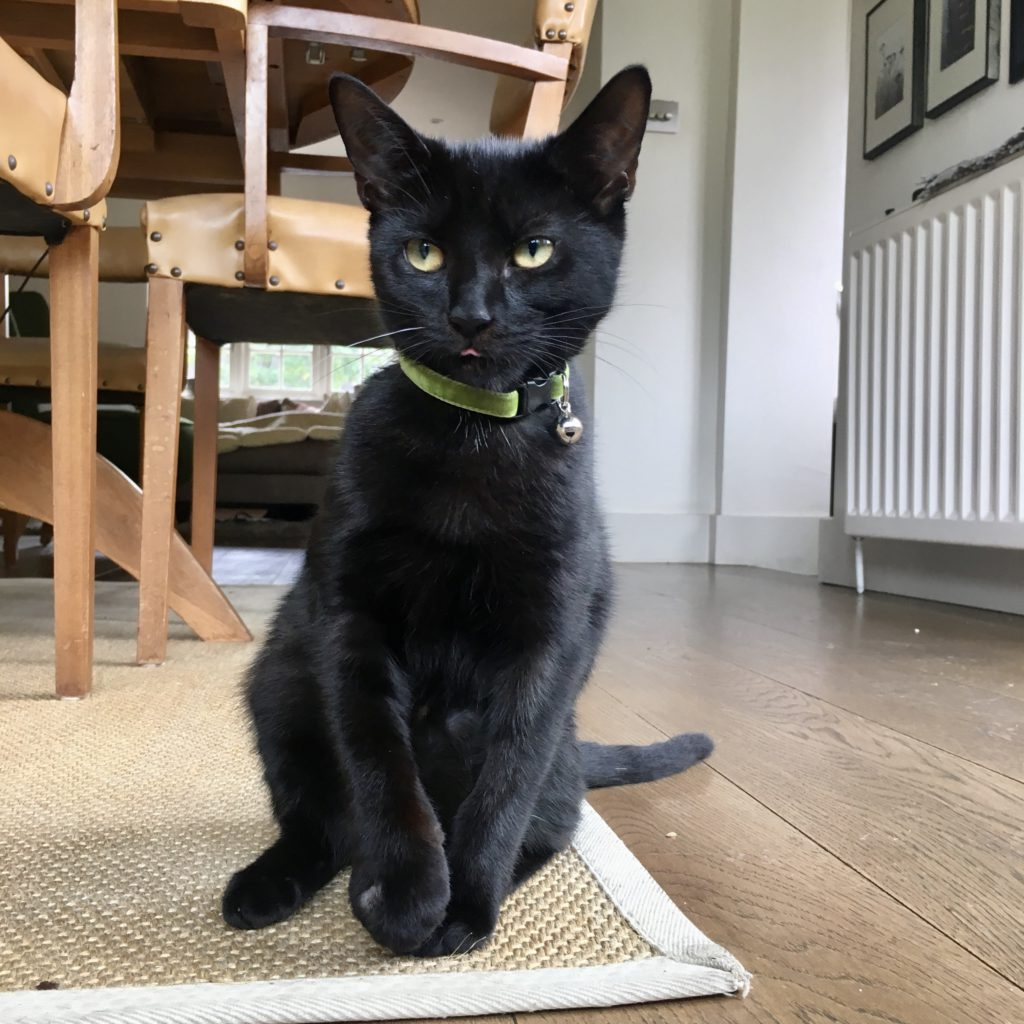 Sitting black moggie cat with green collar and tongue peeking out