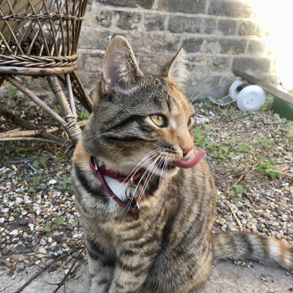 Red collared cat with tongue sticking right out