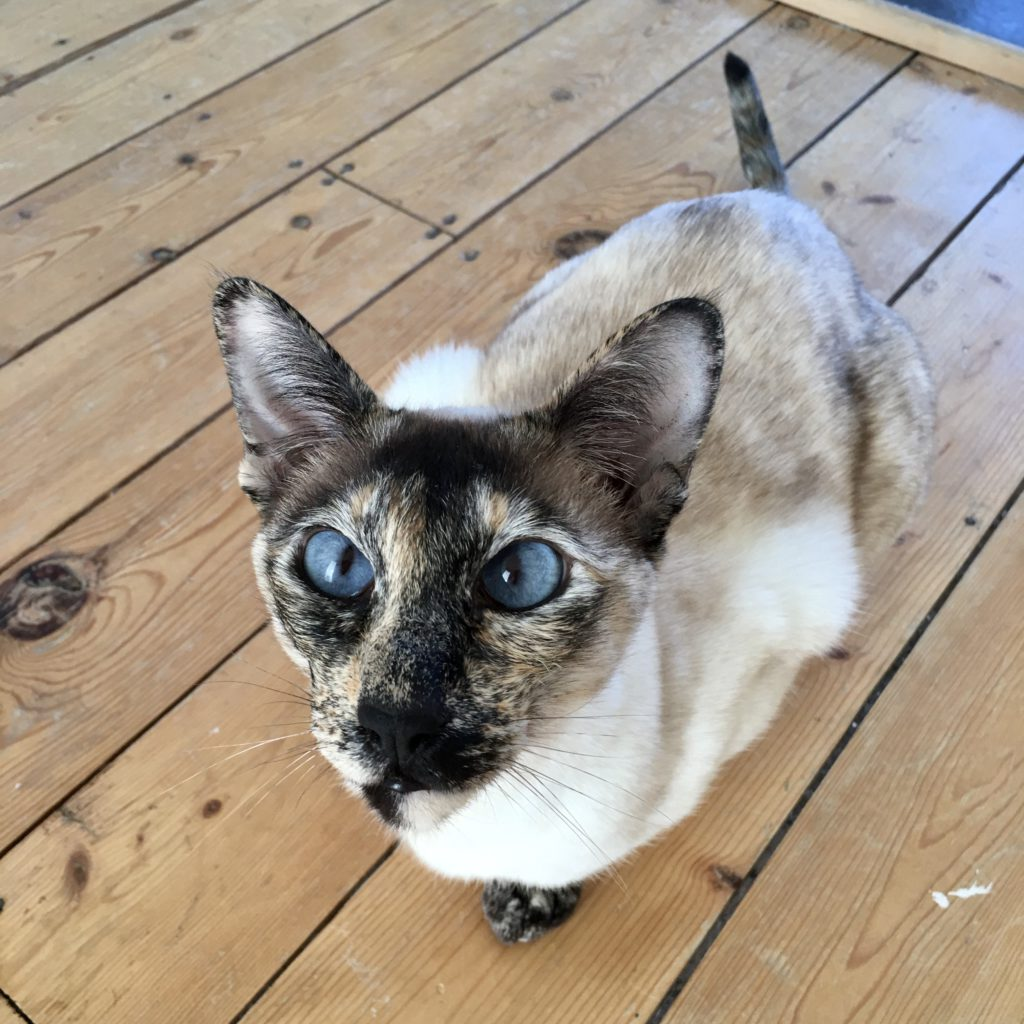 blue-eyed siamese cat on wooden floorboards