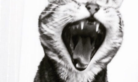 black and white tabby cat yawning
