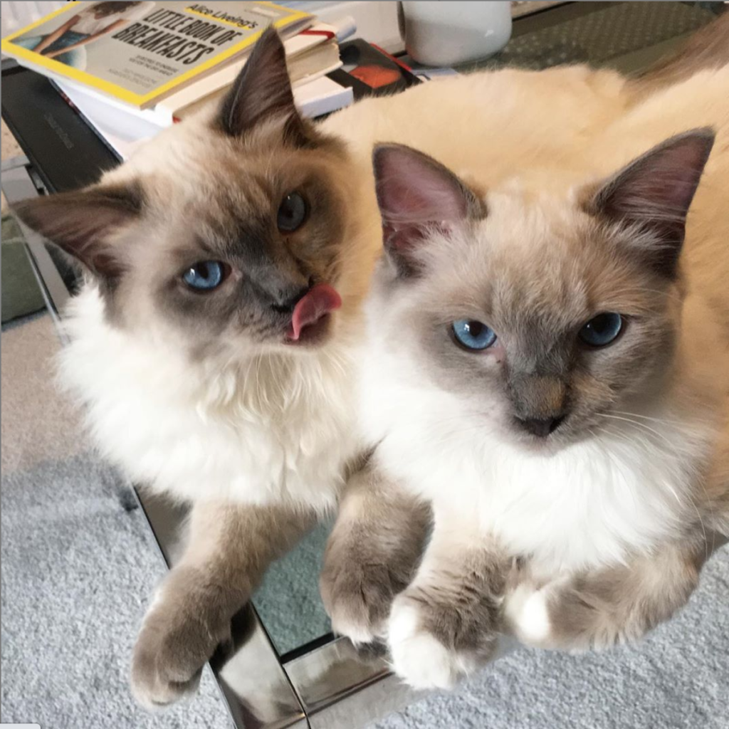 Two grey blue-eyed ragdoll kittens. One with tongue out touching nose