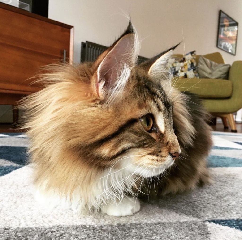 close up of maine coon teenager and his long fur