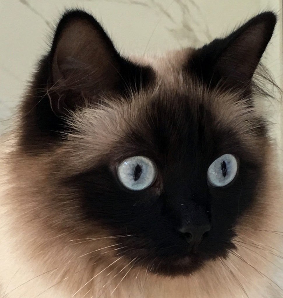 Close-up of blue-eyed cat.
