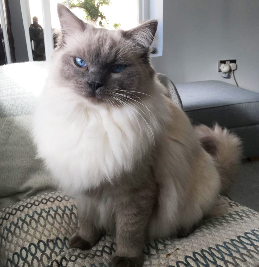 furry grey ragdoll with blue eyes, sitting on cushion