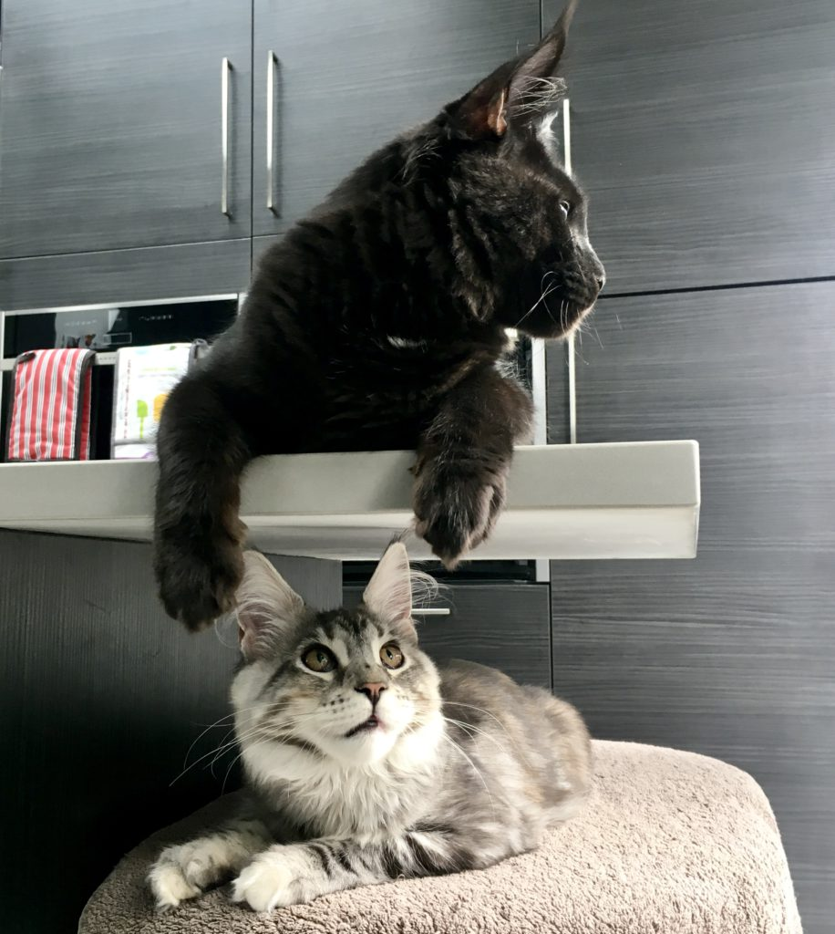 Two fluffy eared Maine Coon tennagers sitting in a kitchen. One is silver, the other black.