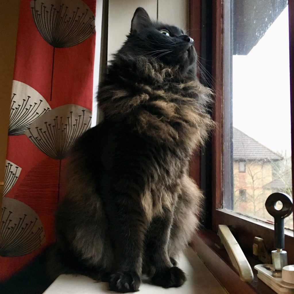 Wild looking super fluffy black and brown cat with a mane and ruff, looking out the window