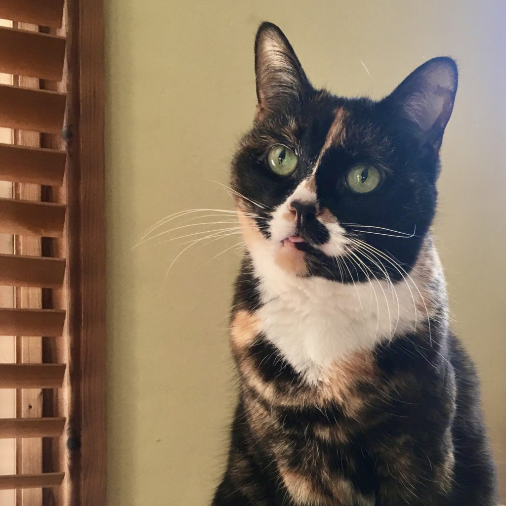 tortoiseshell cat gazing up to the left with a tiny bit of her tongue poking out