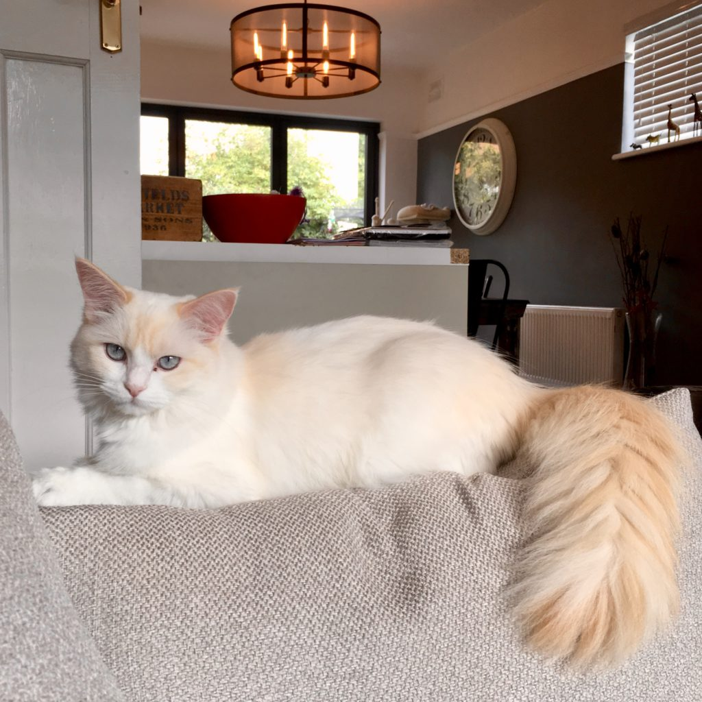 orange ragdoll cat with really fluffy tail, sitting on the back of a sofa