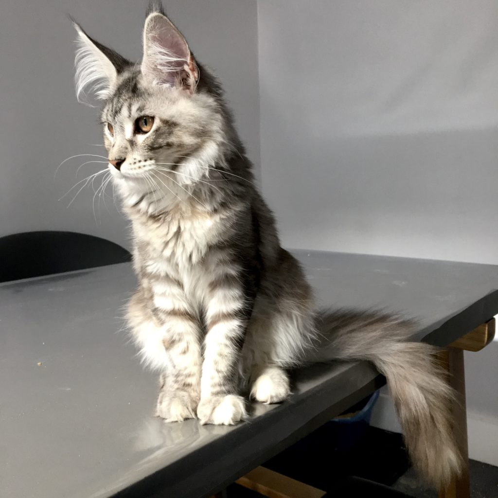 elegant silver grey maine coon kitten sitting on table