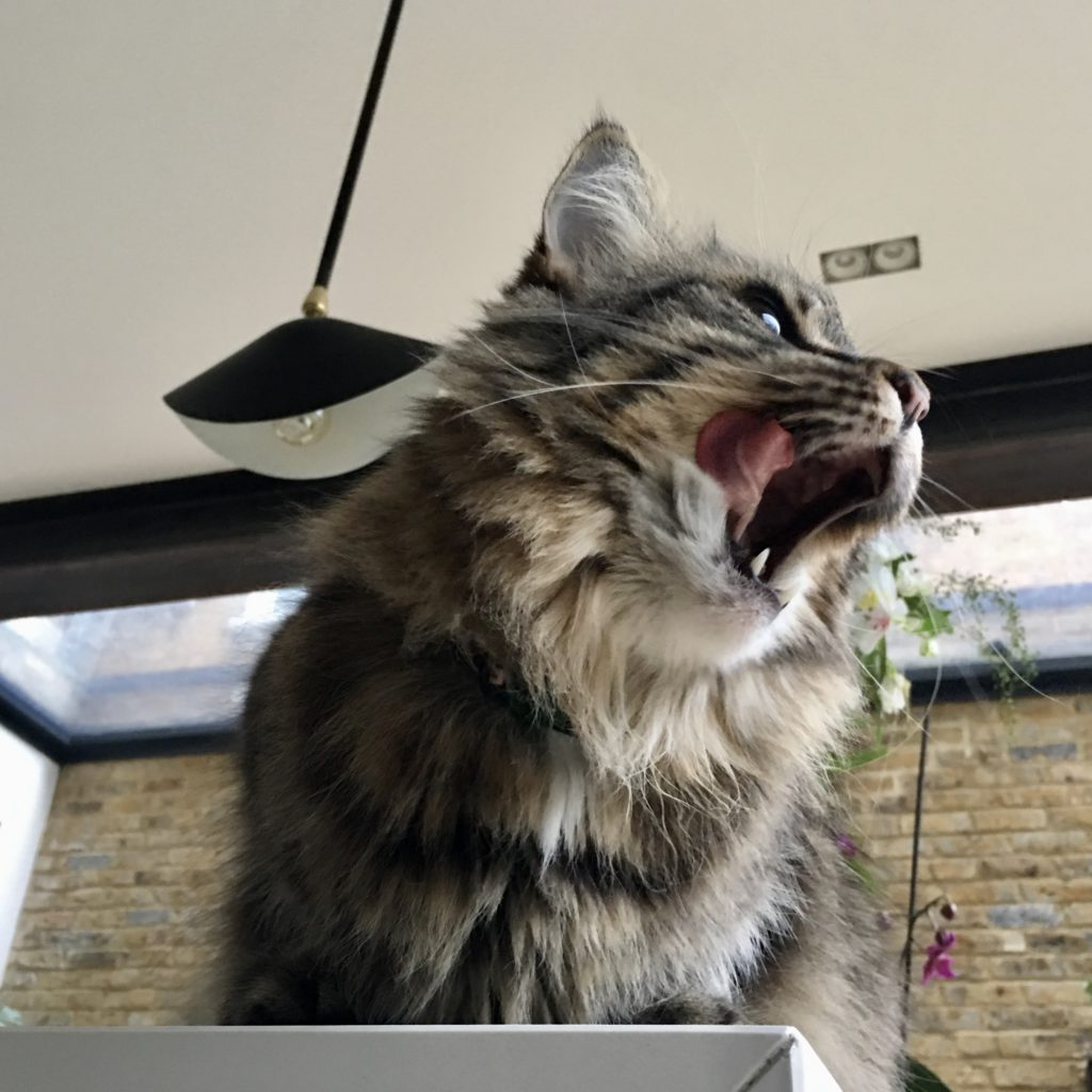 photo from underneath a long haired tabby with tongue out to one side, exposing a tooth