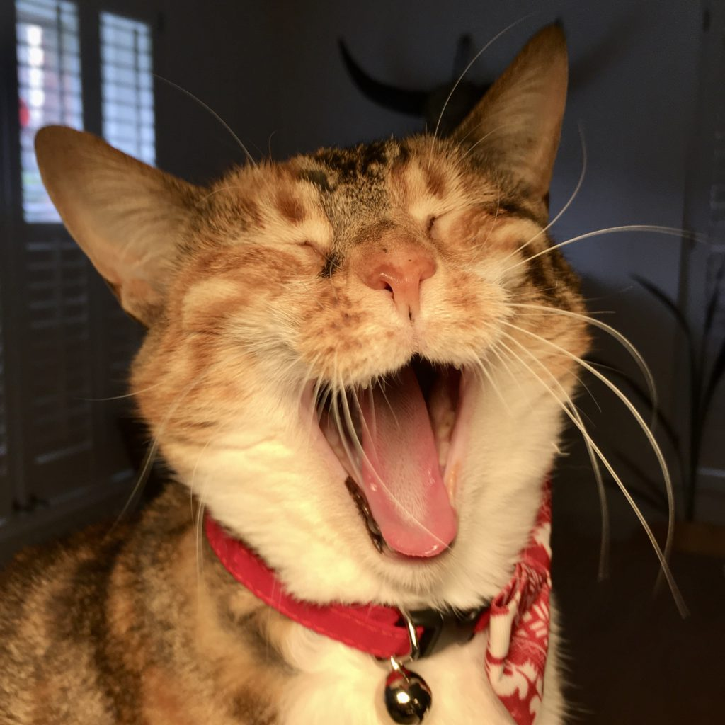 funny night time photo of a ginger tabby yawning  with eyes shut